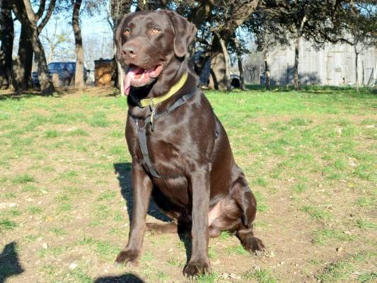 Sable - Silver Factored Chocolate Male Stud @ DLR Silver Labs